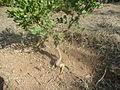 Atalaya capensis 2061.JPG