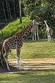 Australia Zoo Giraffe-3 (17705136553).jpg