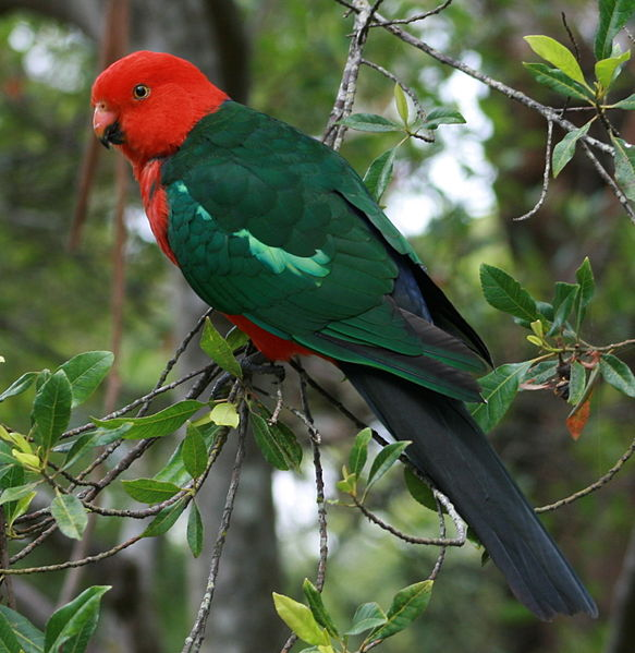 The Natural History and Captive Care of the Australian King Parrot