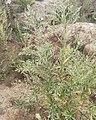 Axyris amaranthoides 91410184.jpg