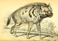 Azara striped hyena.png