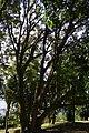 Búcaro (Erythrina fusca) (14222243487).jpg