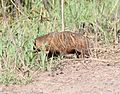 BADGER (taxidea taxus) (9-27-10) san rafael valley grasslands, scc, az -01 (5031293992).jpg