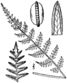 BB-0078 Cheilanthes alabamensis.png