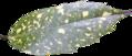 BGTransp L Aucuba Japonica 'Variëgata' leaf.png