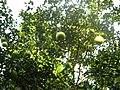 Babloos Naranga IMG 4336.JPG