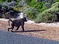 Baboon - Cape of Good Hope - Cape Town, South Africa (5592573994).jpg
