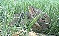 Baby-rabbit.jpg