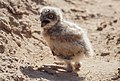 Baby Burrowing Owl (27327423835).jpg