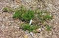 Baccharis pilularis - Manhattan Beach Botanical Garden - Manhattan Beach, CA - DSC01330.jpg