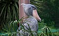 Balaeniceps rex - Flickr - odako1.jpg