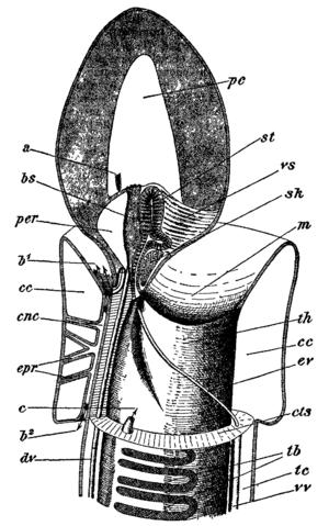Acorn worm - Image: Balanoglossus 3