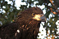 Bald Eagle - Immature, NPS Photo, Rodney Cammauf (8721200566).jpg