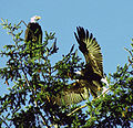 Bald Eagle Mates Landing.jpg