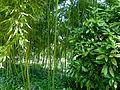 Bambous au jardin Albert Kahn.JPG