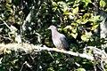 Band-tailed Pigeon Muddy Hollow Marin CA 2018-09-24 10-50-00 (43905314640).jpg
