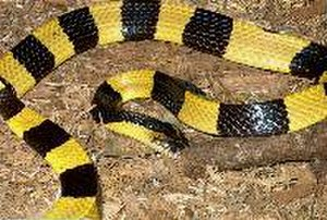 Bungarus - Bungarus fasciatus (the largest species of krait)