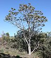 Banksia attenuata.jpg