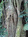 Banyan trunc 02 in Tirtagangga by Line1.jpg