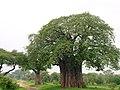 Baobab, Tarangire National Park (2015).jpg