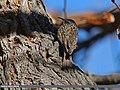 Bar-tailed Tree-creeper (Certhia himalayana) (23380197765).jpg