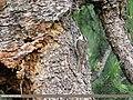 Bar-tailed Tree-creeper (Certhia himalayana) (41409845850).jpg