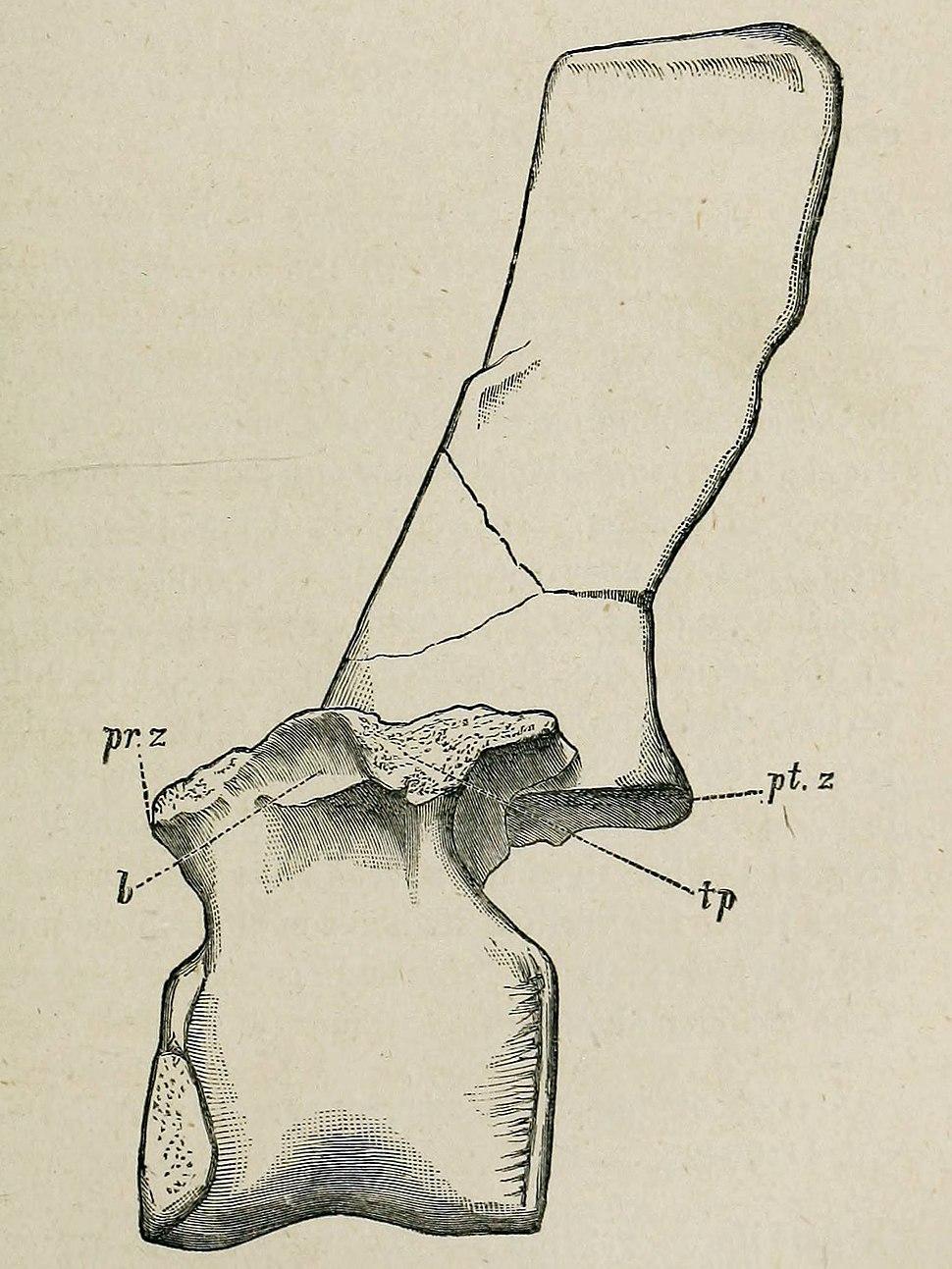 Barilium vertebra