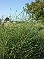 Bassia scoparia subsp. densiflora sl20.jpg