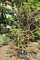 Bauhinia forficata - Mildred E. Mathias Botanical Garden - University of California, Los Angeles - DSC02669.jpg
