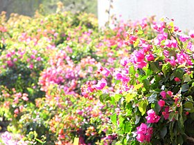 Beautiful Flowers of Dubai.jpg