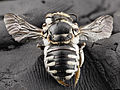 Bee 04487d04, f, angle, south africa 2014-08-06-11.26.52 ZS PMax (15714134492).jpg