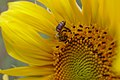 Bee on sunflower (36980084252).jpg