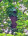 Bee swarm day2.jpg