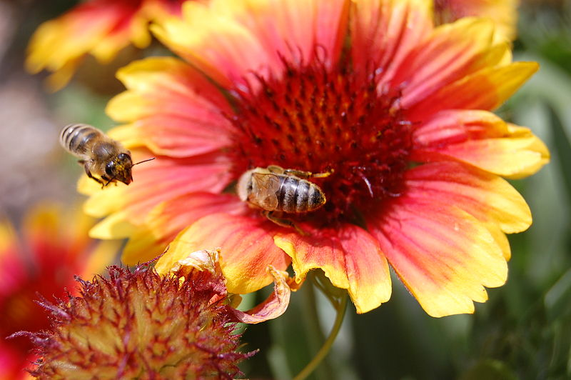 Slika:Bees on flower.jpg