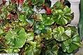 Begonia Erythrophylla Helix 3zz.jpg