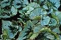 Begonia incarnata kz01.jpg