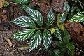 Begonia maynensis (Begoniaceae) — juvenile leaves of terrestrial forms (29845263171).jpg
