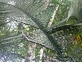 Belize, Cahal Pech Palm tree Laslovarga050.JPG