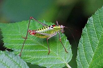 Tettigoniidae - Poecilimon thoracicus (Phaneropterinae)