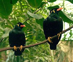 Hill mynas, Gracula sp.