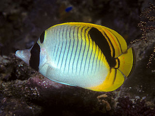 Spot-nape butterflyfish species of fish