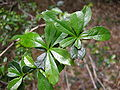 Berberis darwinii - leaves - 01.JPG