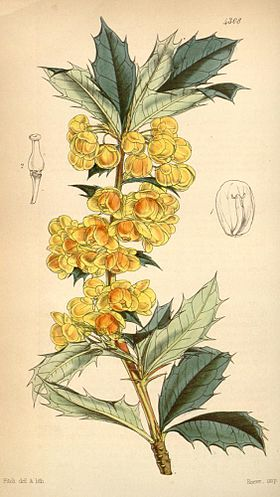 Berberis ilicifolia (drawing in colour).jpg