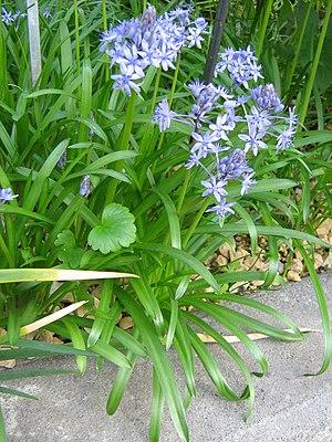 Hyacinthoides italica - Image: Berne botanic garden Hyacinthoides italica