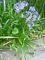 Berne botanic garden Hyacinthoides italica.jpg