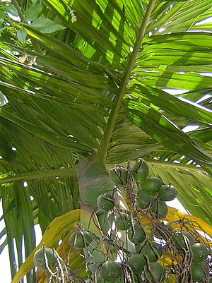 Biodiversity of Assam - Areca nut tree or tamul goss