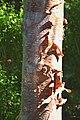 Betula ermanii in Dunedin Botanic Garden 01.jpg