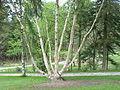 Betula ermannii0.jpg