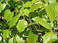 Betula pubescens.JPG