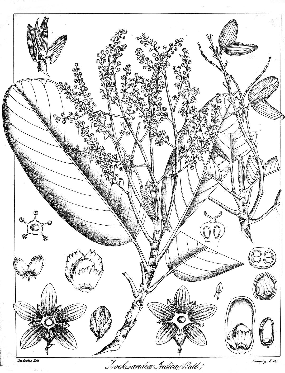 Centroplacaceae